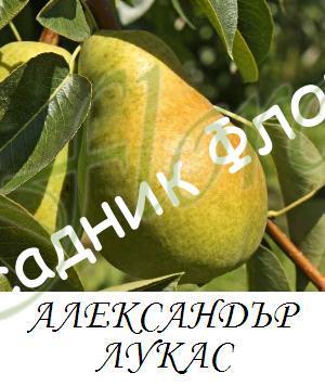 aleksandyr_lukas