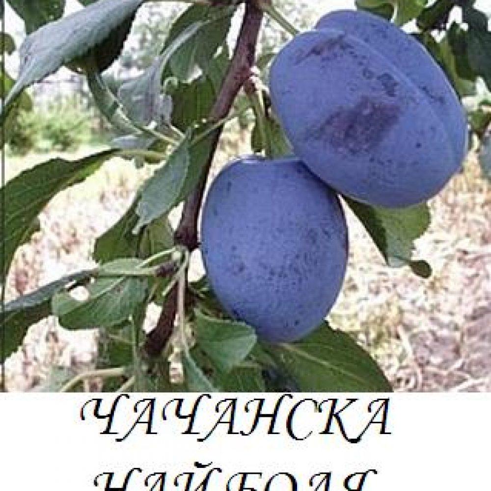 chachanska_naibolq