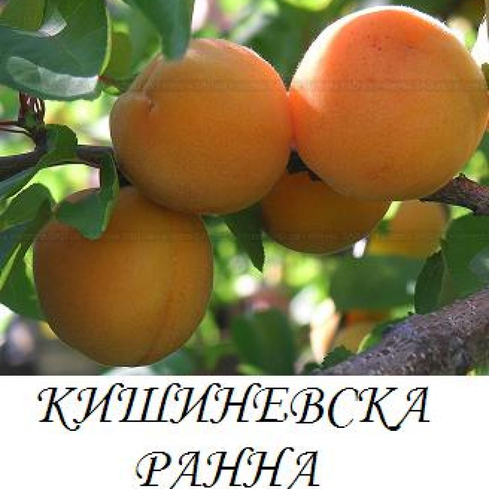 kishinevska_ranna