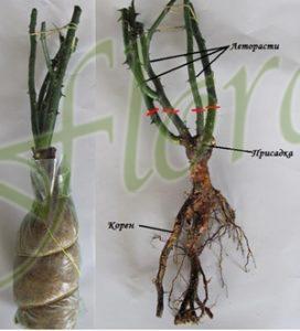 корени на рози