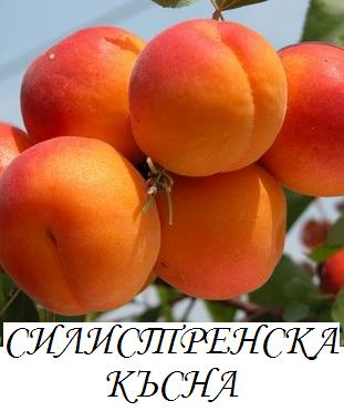 slistrenska_kysna