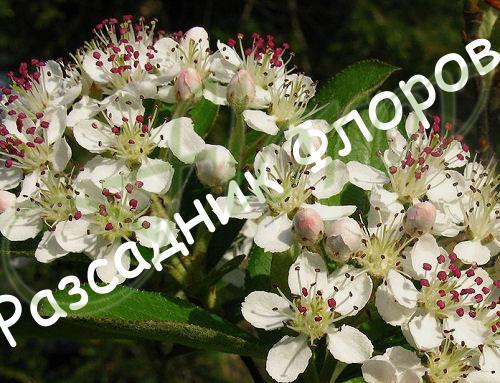 aronia-arbutifolia-flowers
