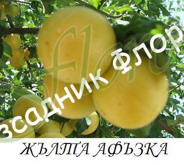 jylta_afyzka