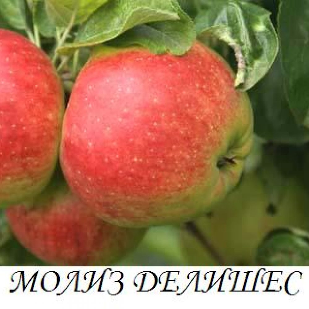 moliz_delishes
