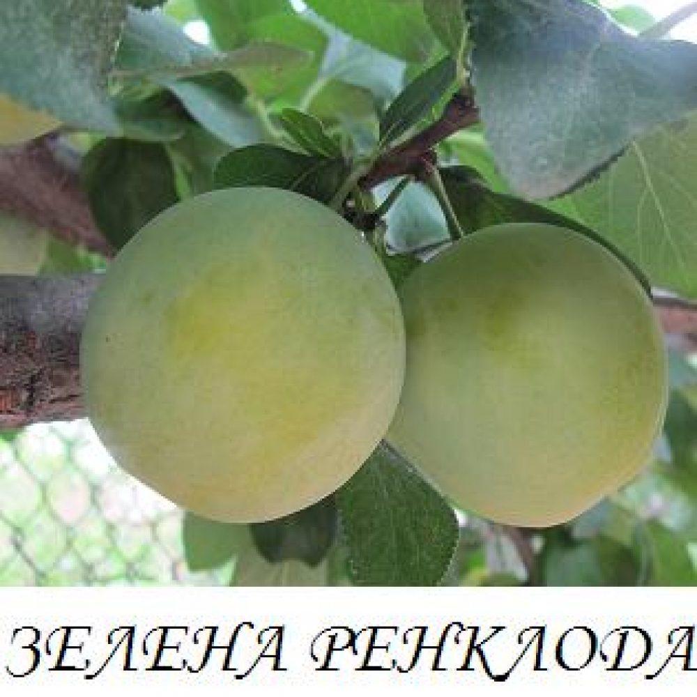 zelena_renkloda