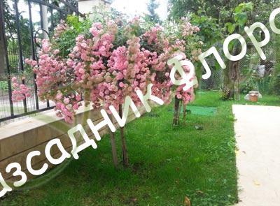 Розова щамбова роза
