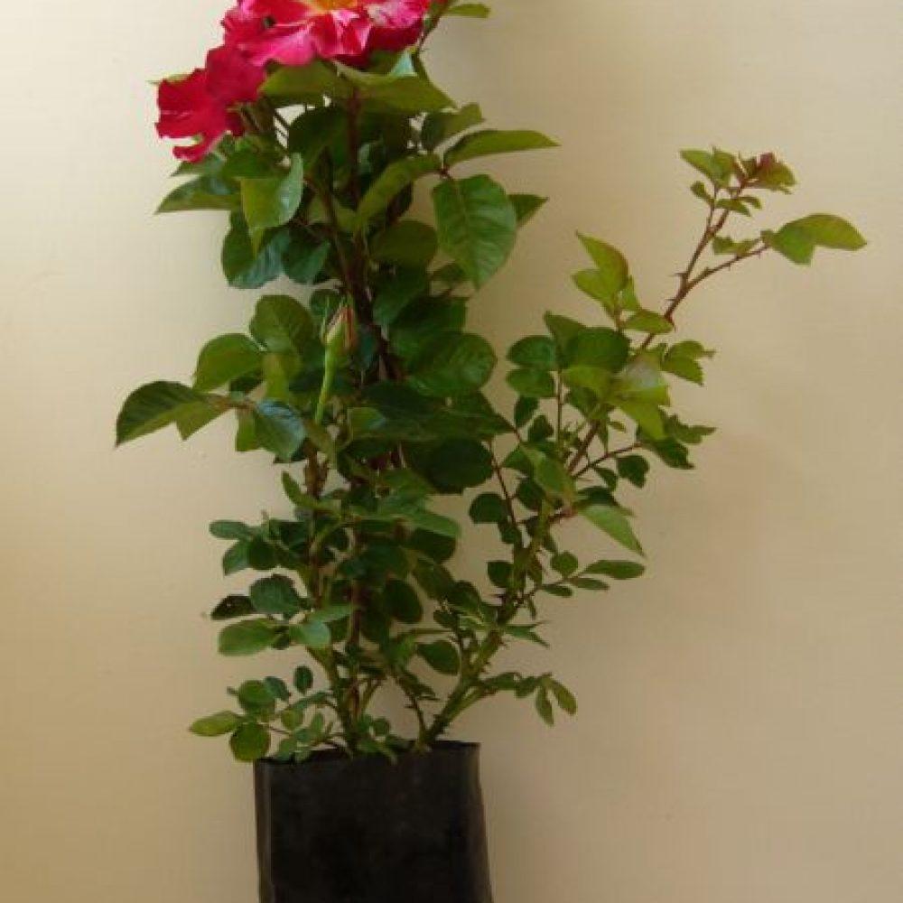 Роза в контейнер